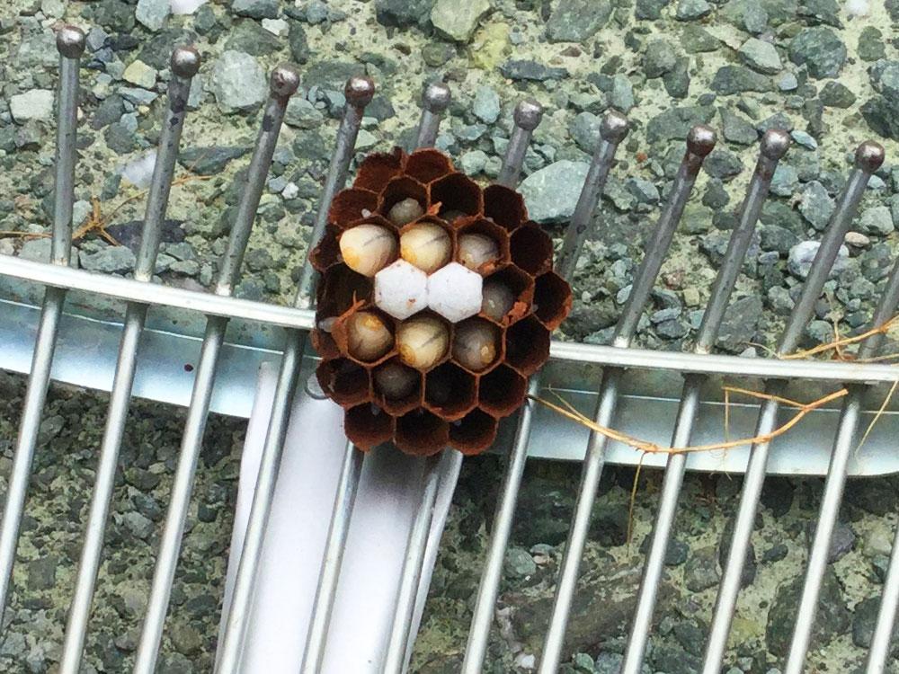 スズメバチの巣を発見!